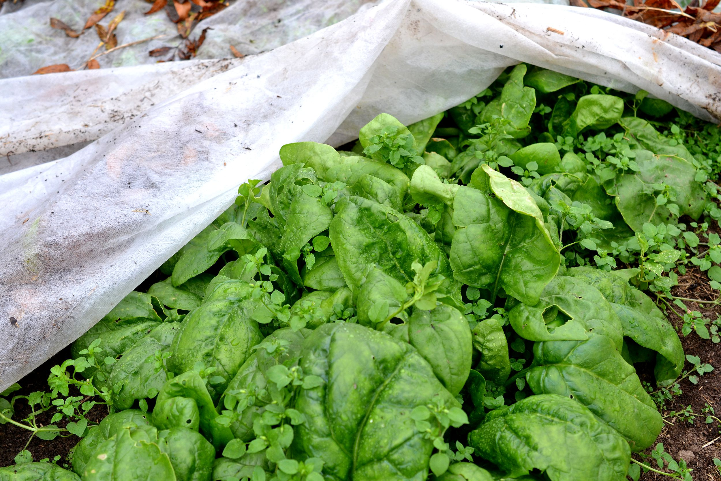 Gröna läckra spenatblad gömmer sig under en fiberduk i köksträdgården.