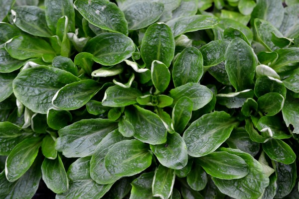 Buskiga små bladrosetter i ljuvligt grönt.