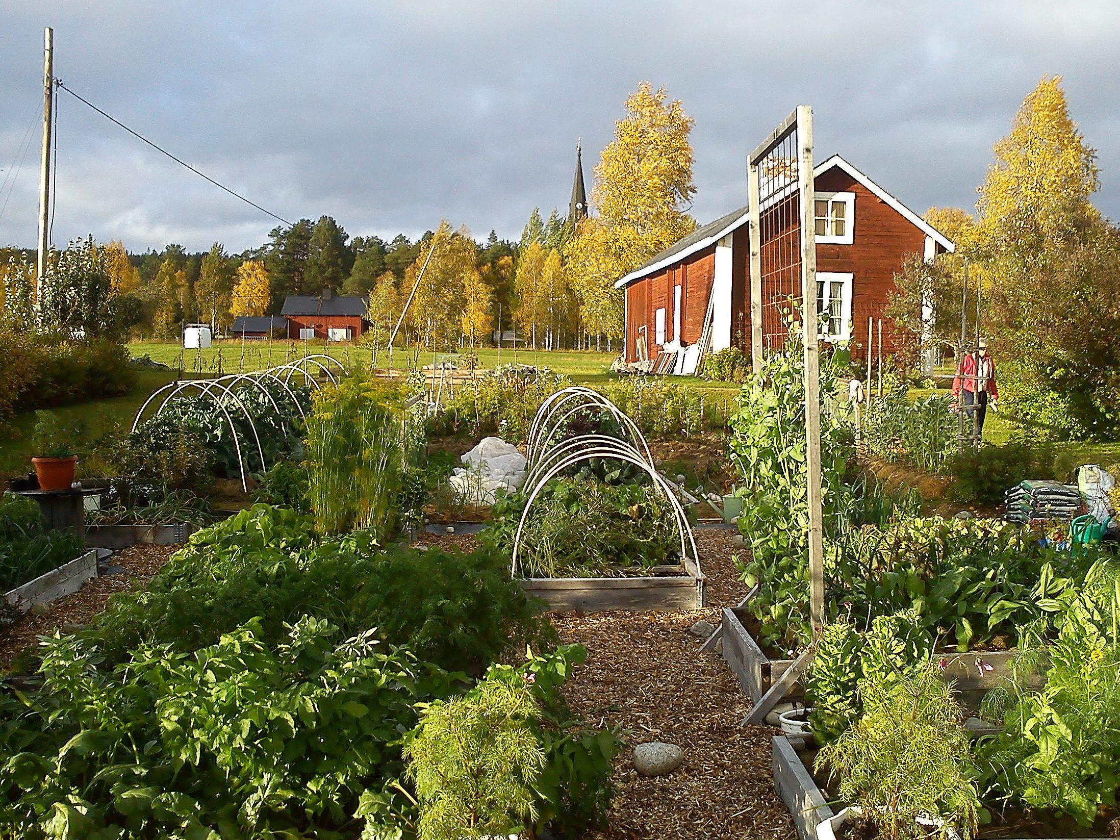 En välfylld köksträdgård i norr med prunkande odlingsbäddar framför ett rött hus.