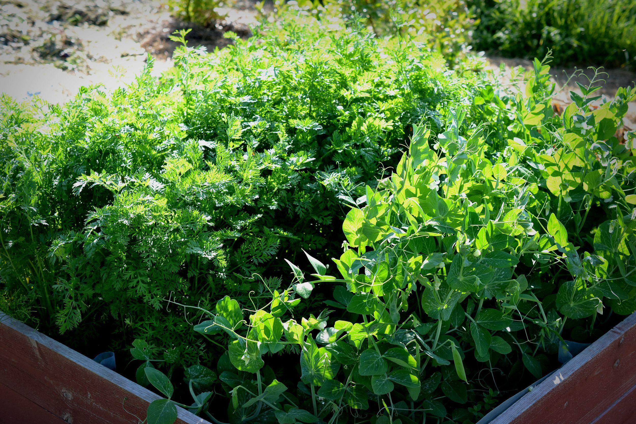 En välfylld kompostlåda där morot och ärter växer friskt.
