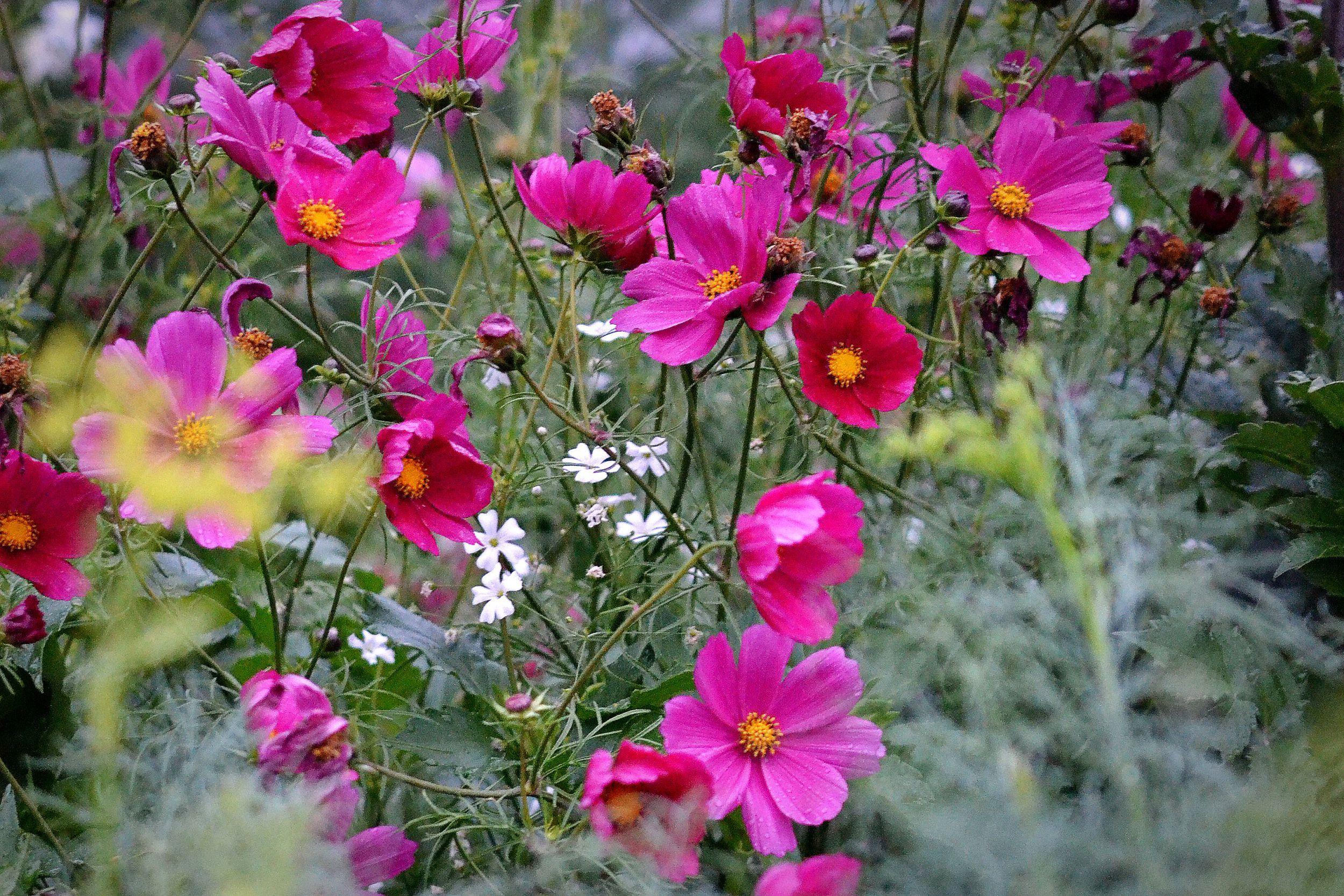 Mängder av rosenskära blommar i rosa en disig dag.