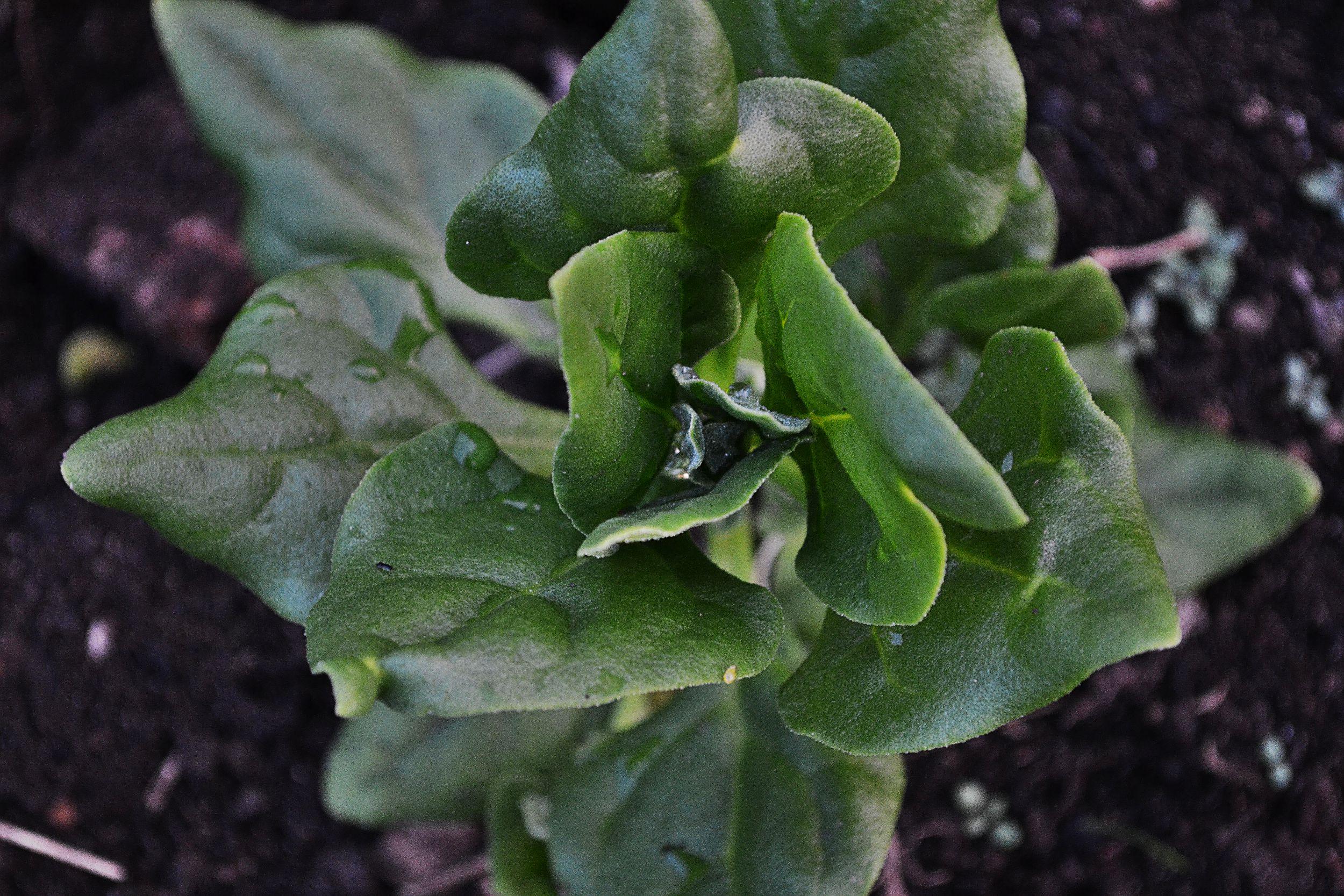 En ung planta sedd ovanifrån.