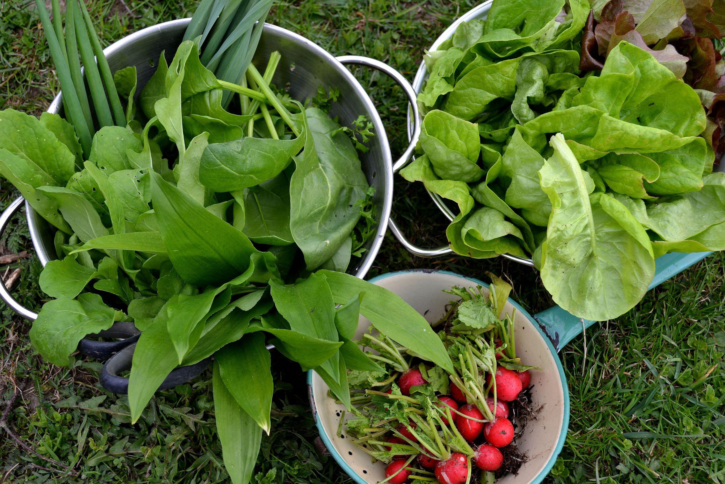 Byttor med tidigt skördade grönsaker, som ramslök, sallat och rädisa.