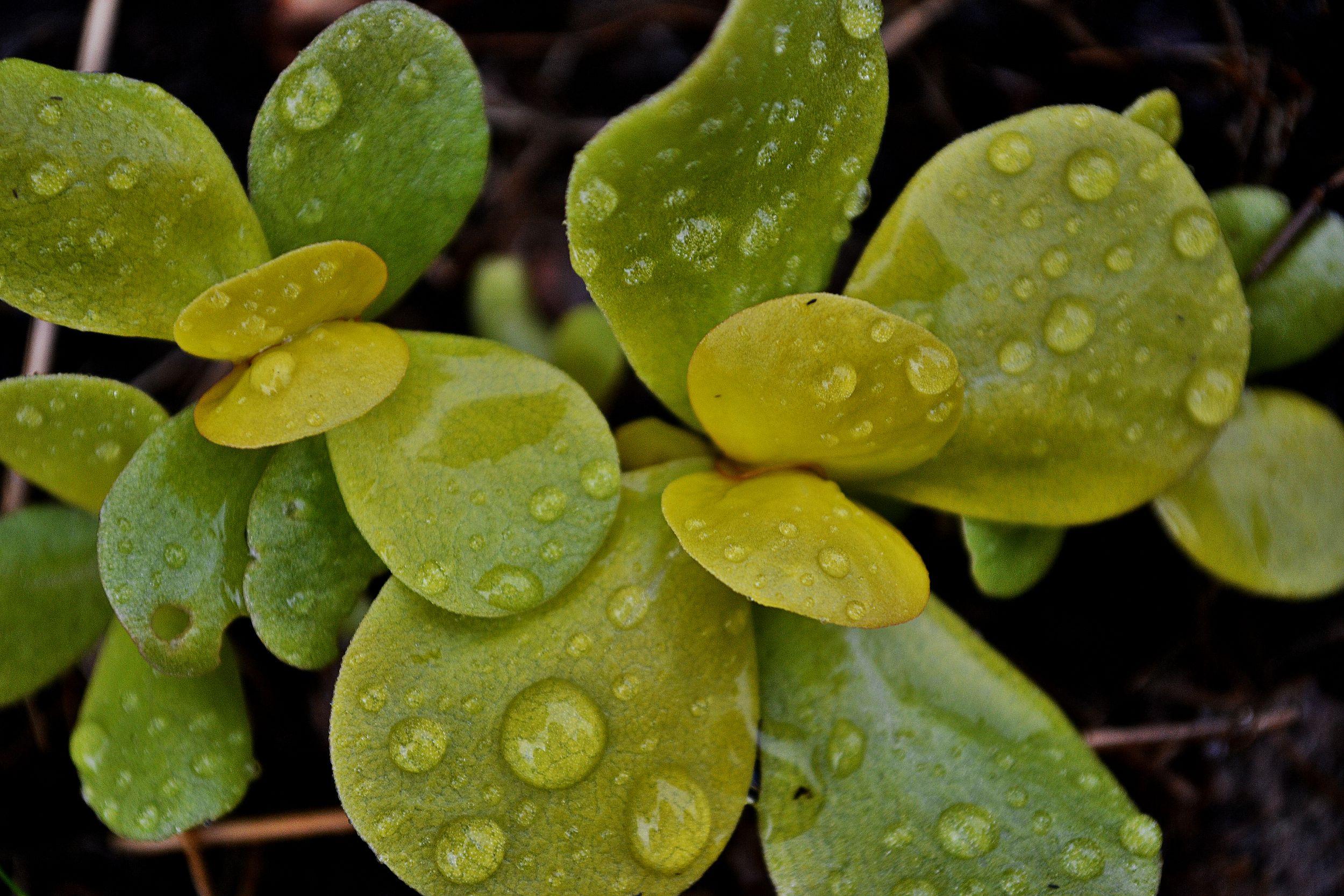 Gul trädgårdsportulak med saftiga blad.