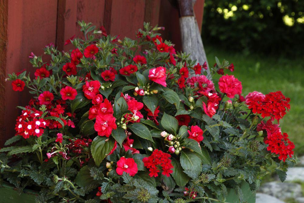Röda blommor i kruka. Fotograf: Annika Christensen.