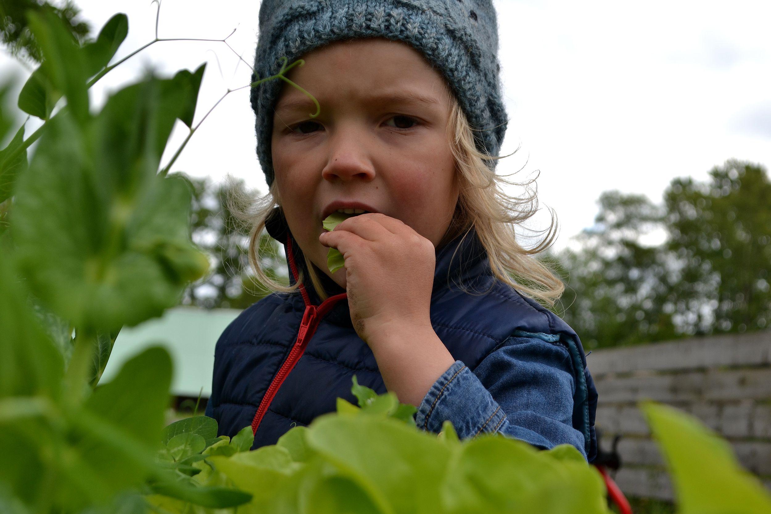 En pojke äter sallat i köksträdgården.