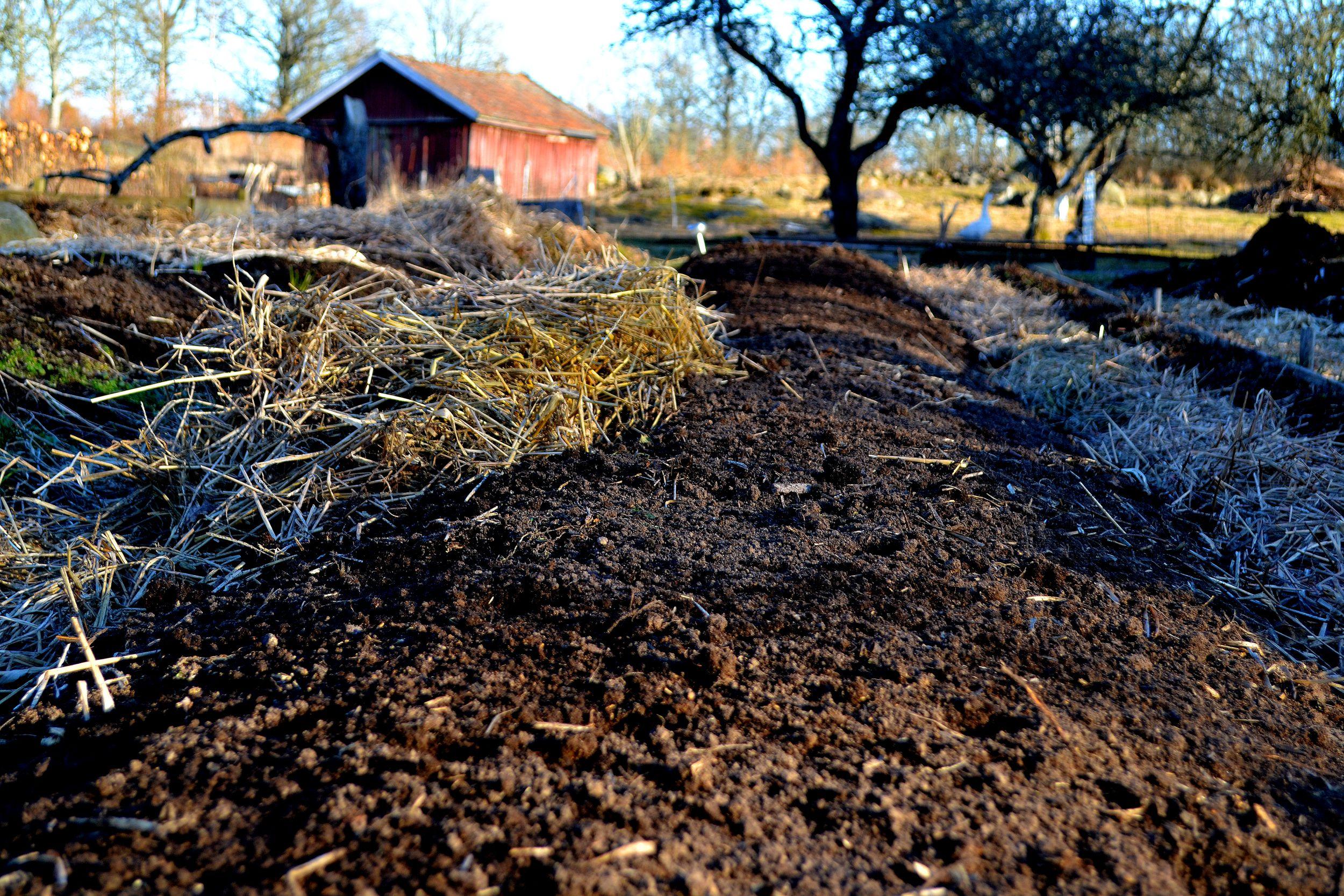 Nya odlingsbäddar har byggts av gödsel och halm.