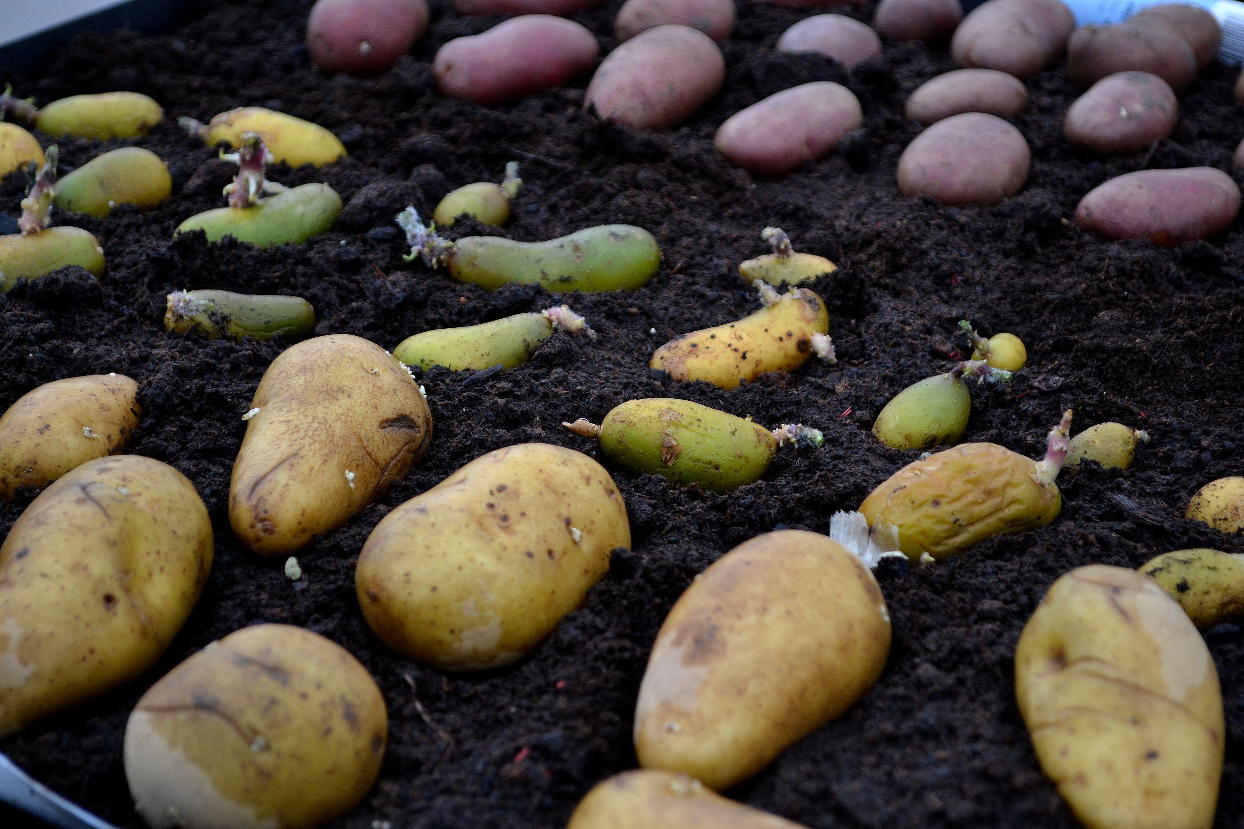 Potatis ligger på jord för att rotas.