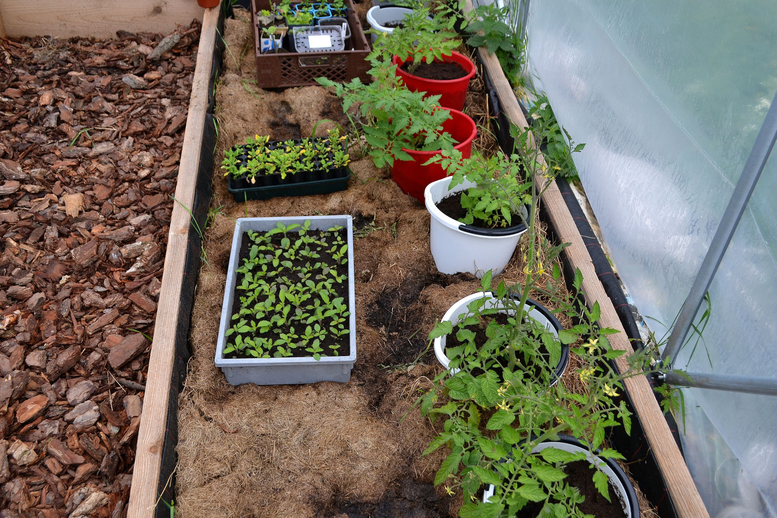 En bädd i tunnelväxthuset med gräsklipp och tomater i hinkar.