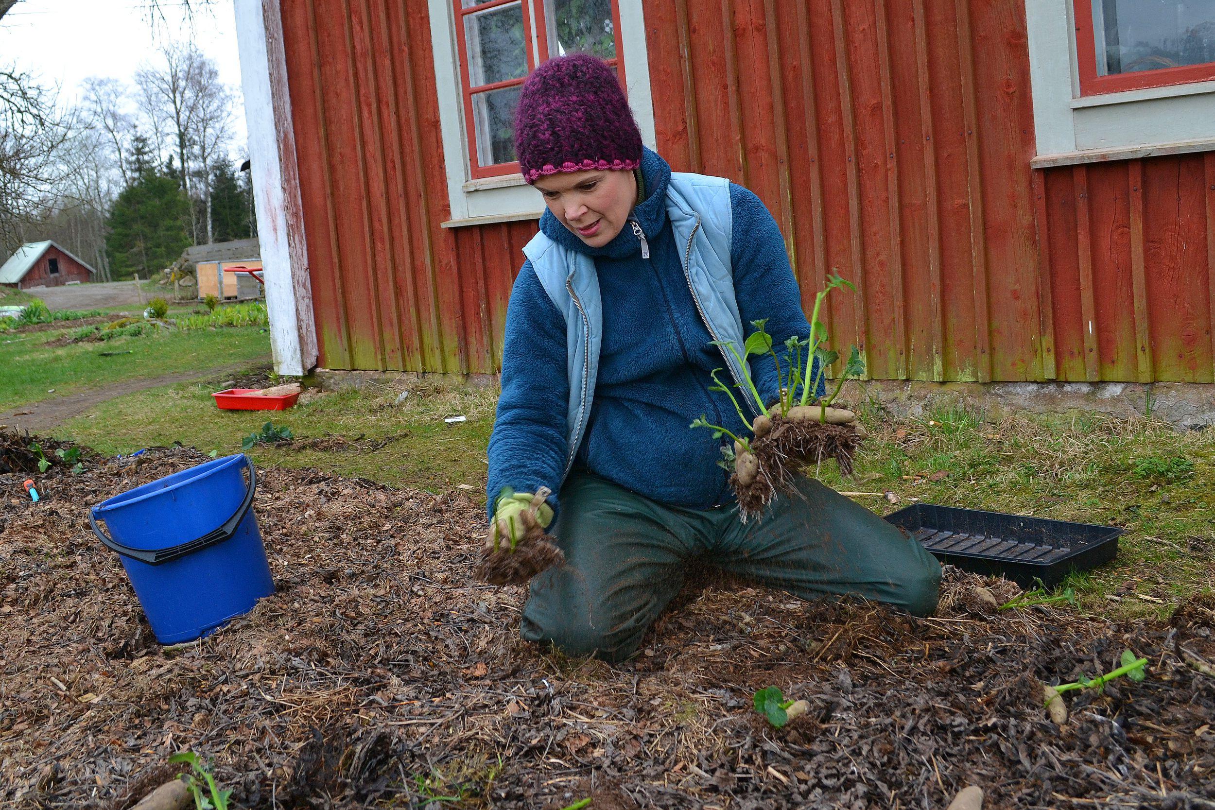 Sara planterar potatis i den täckodlade bädden vid huset.