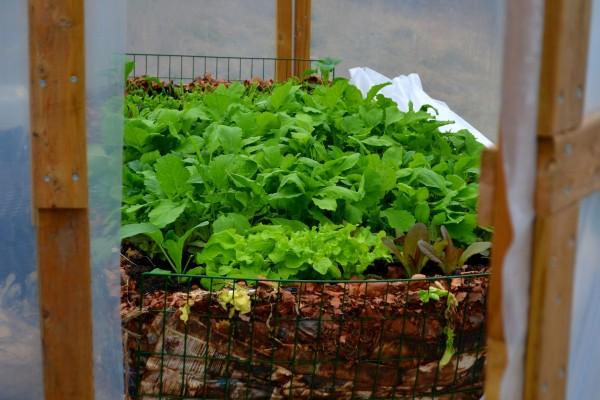 En grön odlingsbädd i tunnelväxthuset.