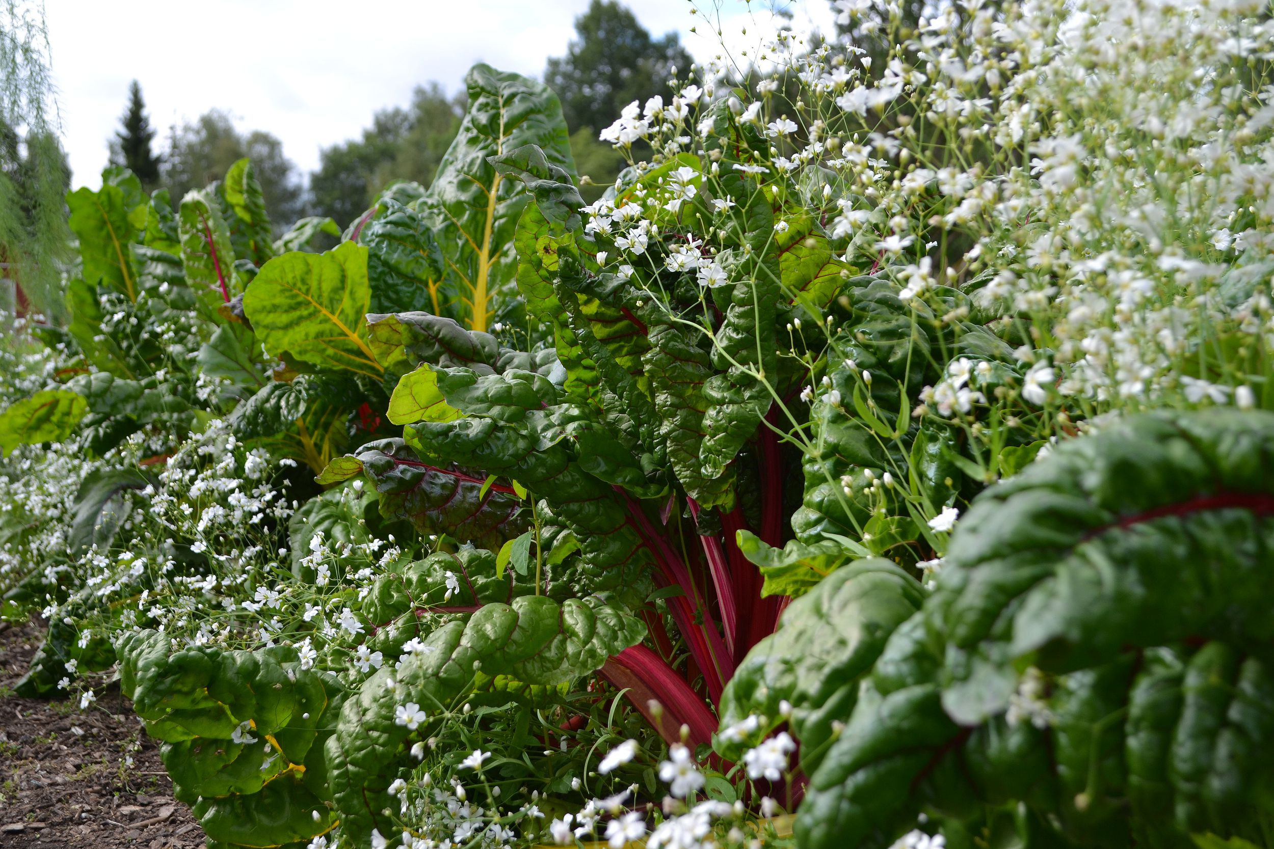 Vacker flerfärgad mangold tillsammans med vita små blommor.