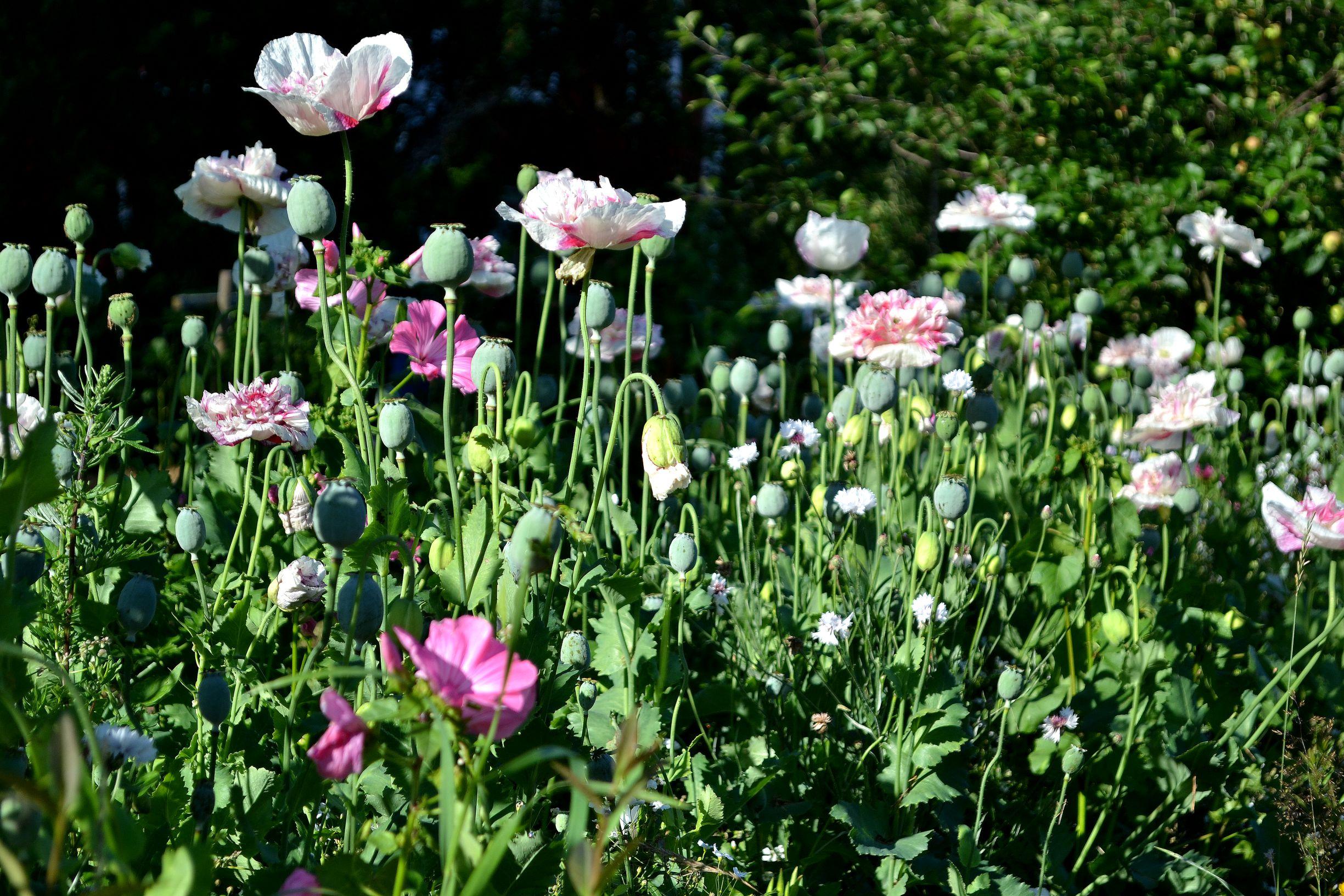 En blomsterbädd med blommande vallmo i vitt och rosa.
