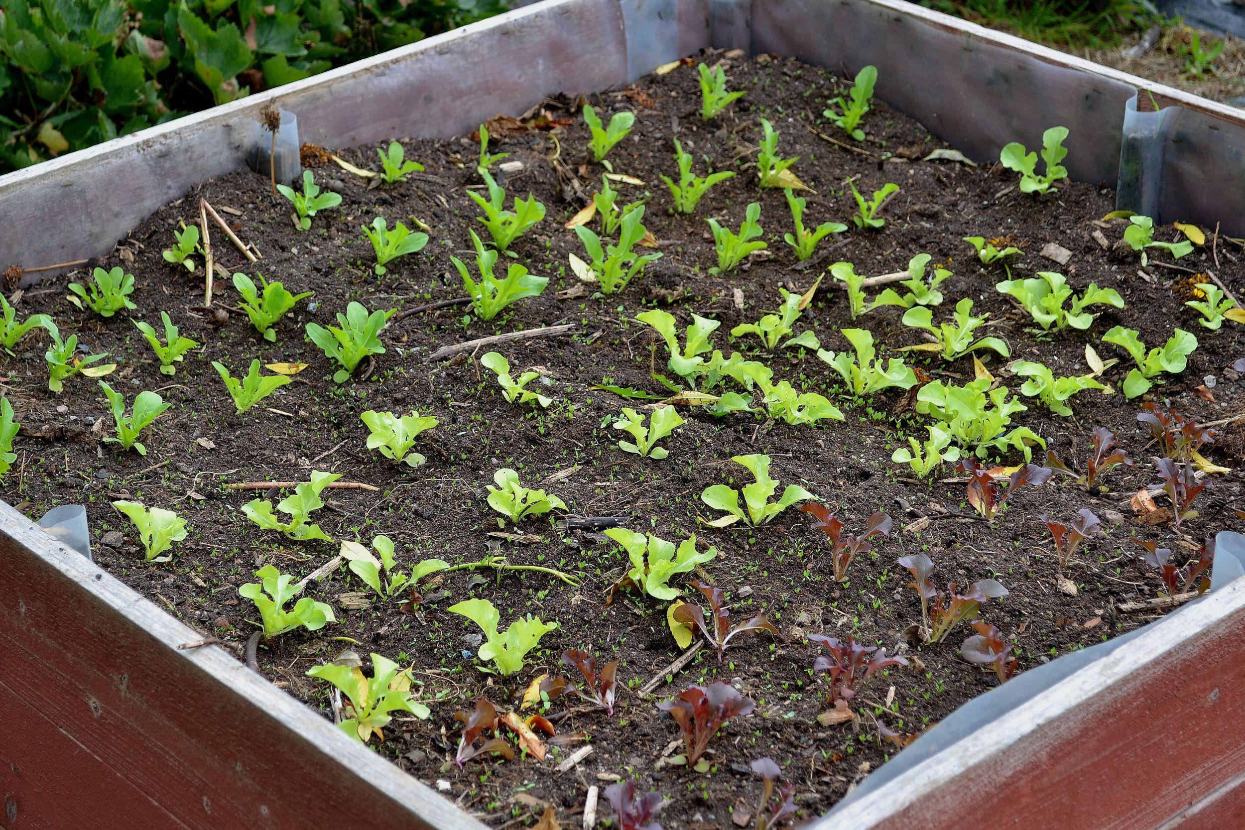 Sallat i olika färger, tätt planterade i en odlingslåda.