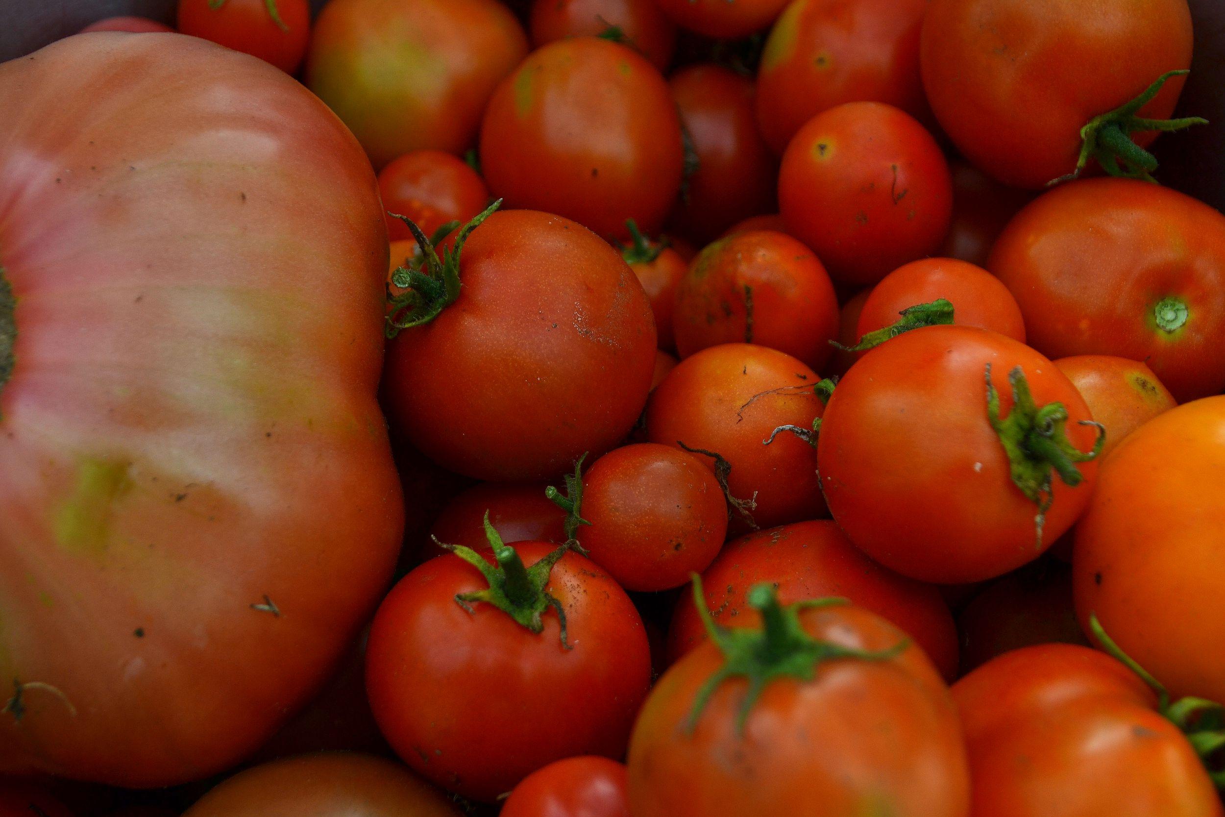 Nyskördade tomater i en skål.