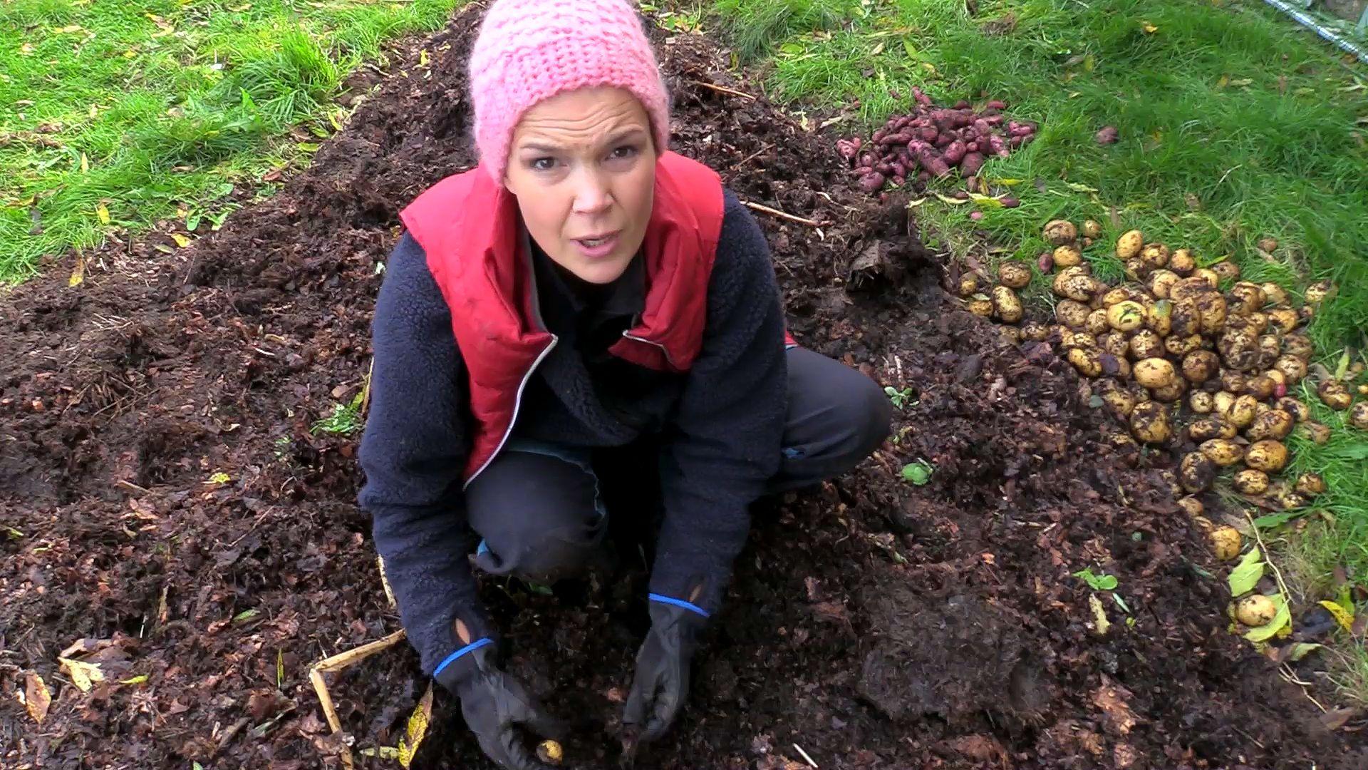 Sara Bäckmo skördar potatis.