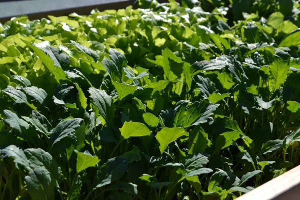 En grön matta av olika bladgrönsaker.