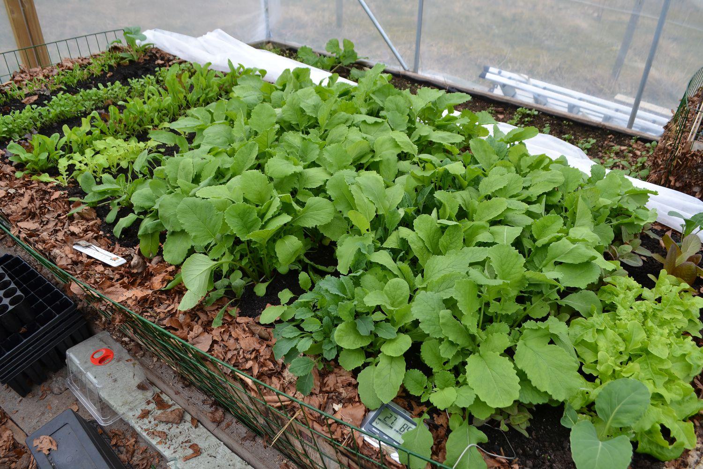 En varmbänk full av grönsaker ett tunnelväxthus.