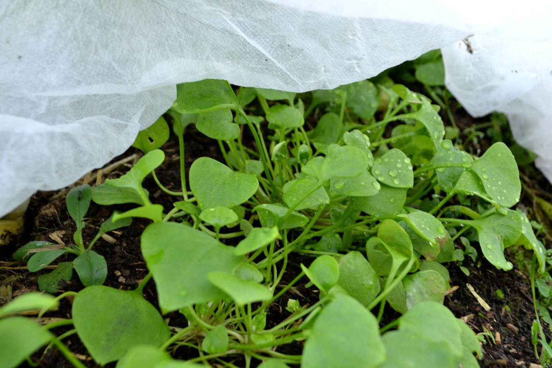 Grön vinterportulak under en fiberduk.