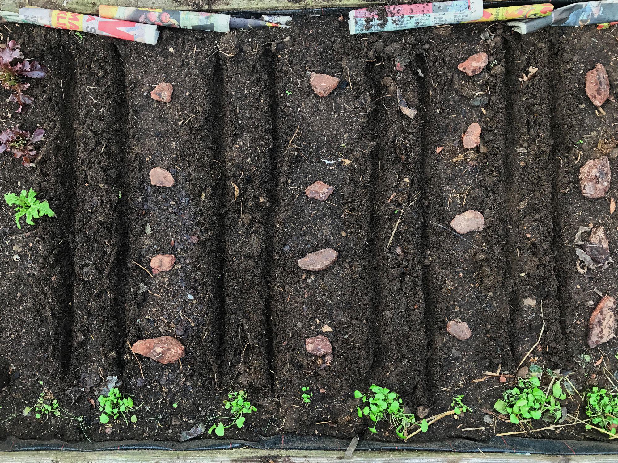 Såfåror i jord i tunnelväxthuset.