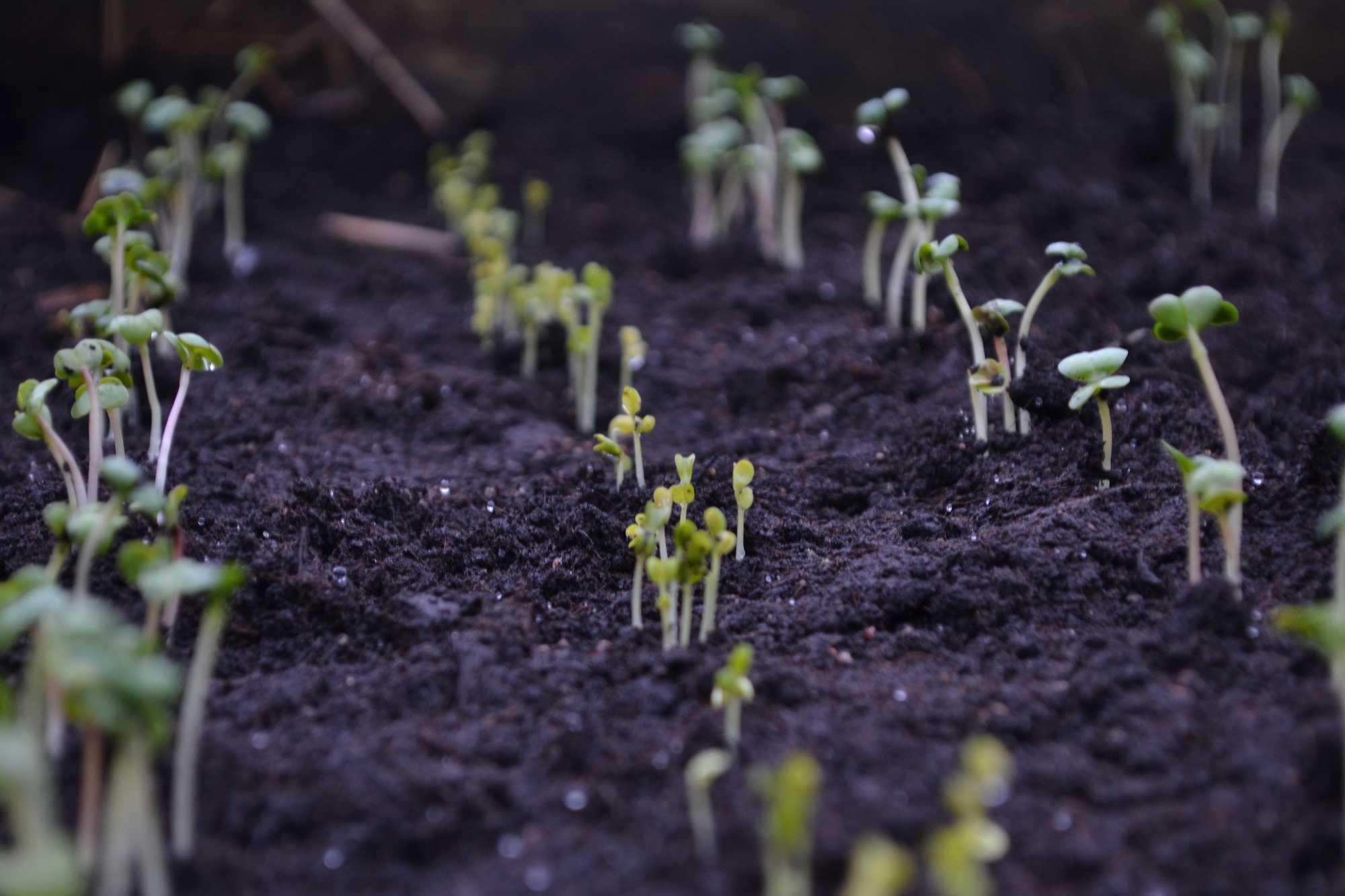 Fröer som nyss grott i kolsvar jord.