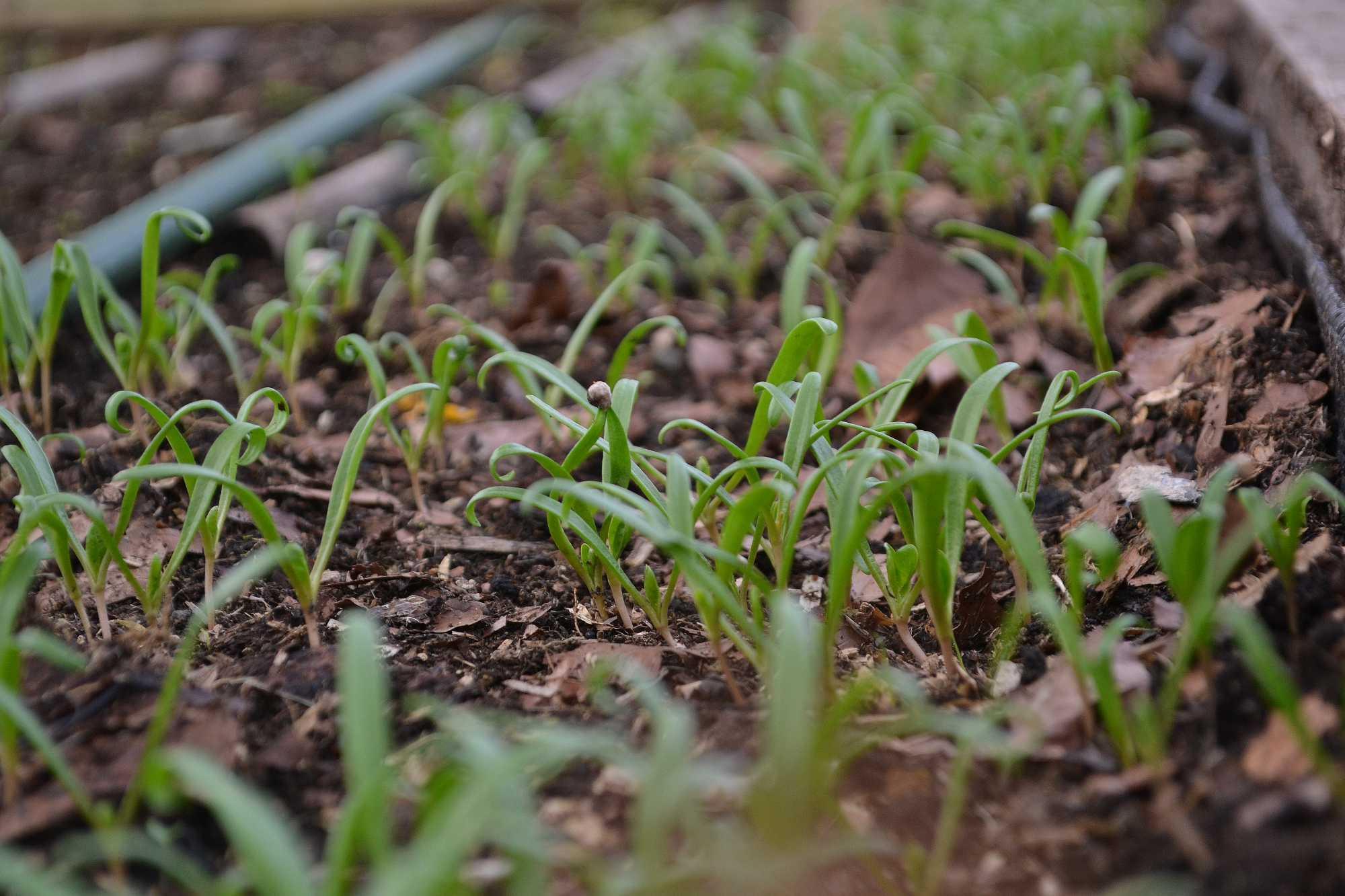 Små täta plantor av spenat i en odlingsbädd
