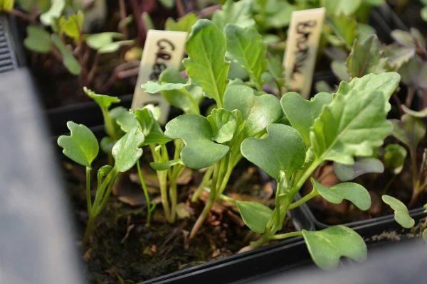 Små plantor av broccoli.