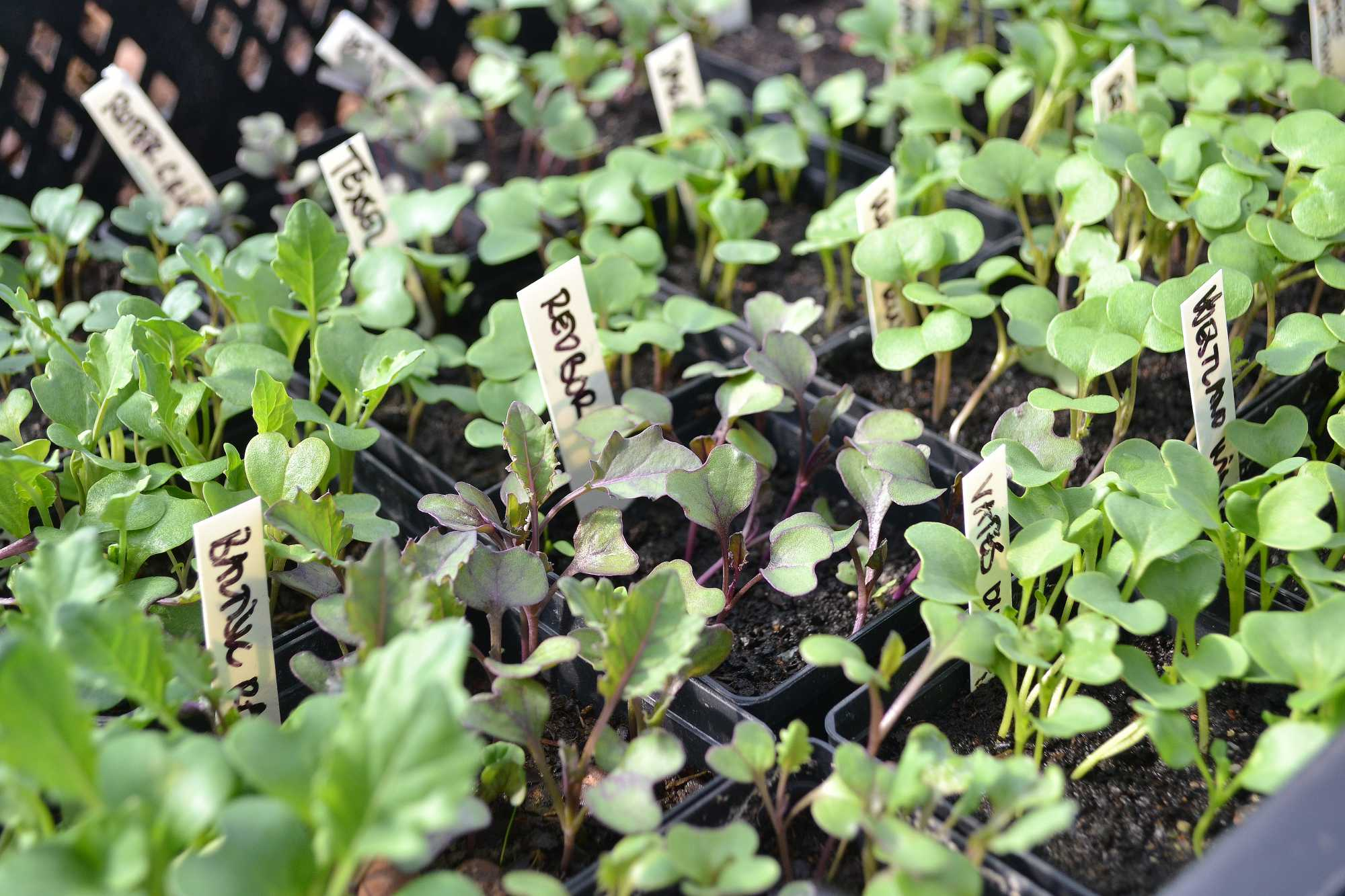 Massa små kålplantor i krukor.
