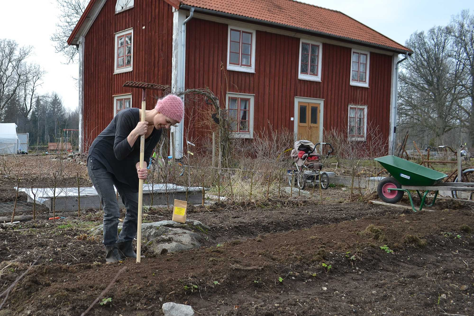 Sara sår bondbönor i trädgården