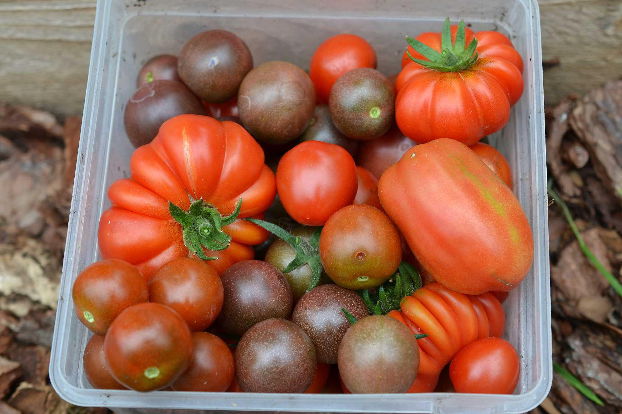 Nyskördade tomater i en plastbytta.