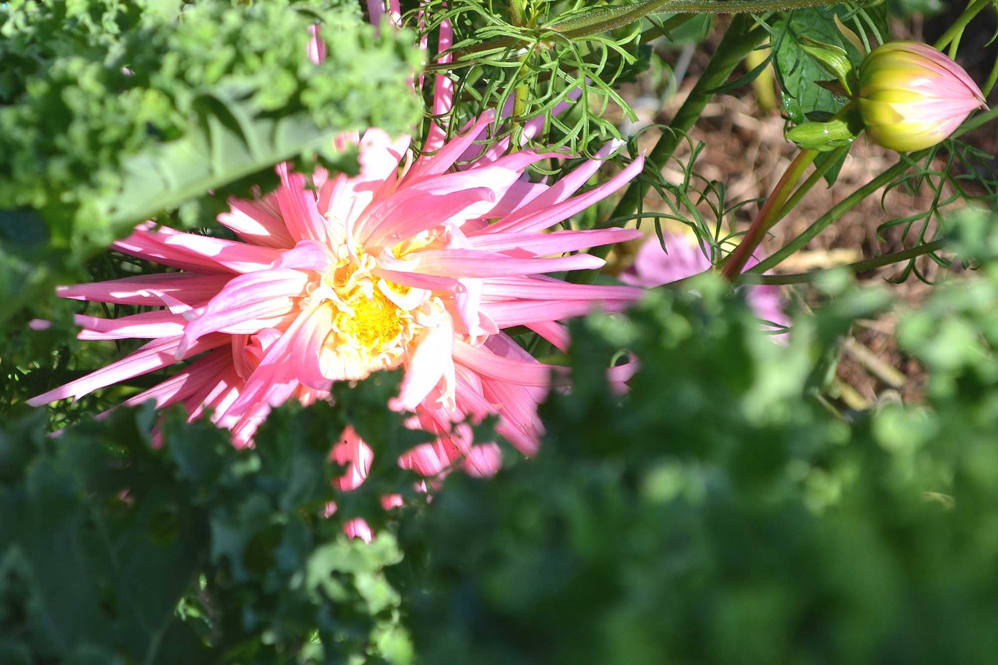 En rosa sommarblomma bland stora grönkålsblad.