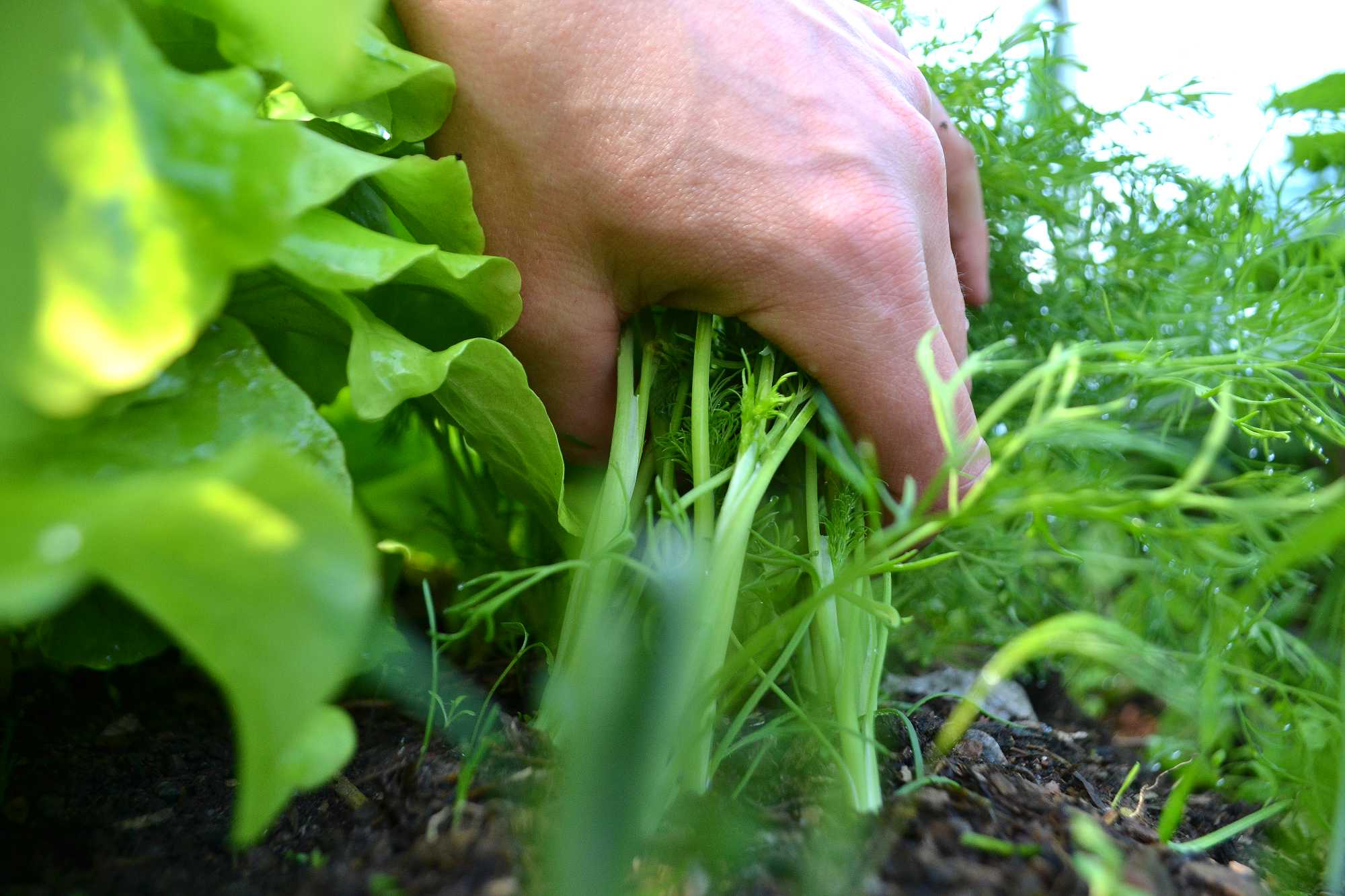 En hand håller om ett knippe dill i landet.