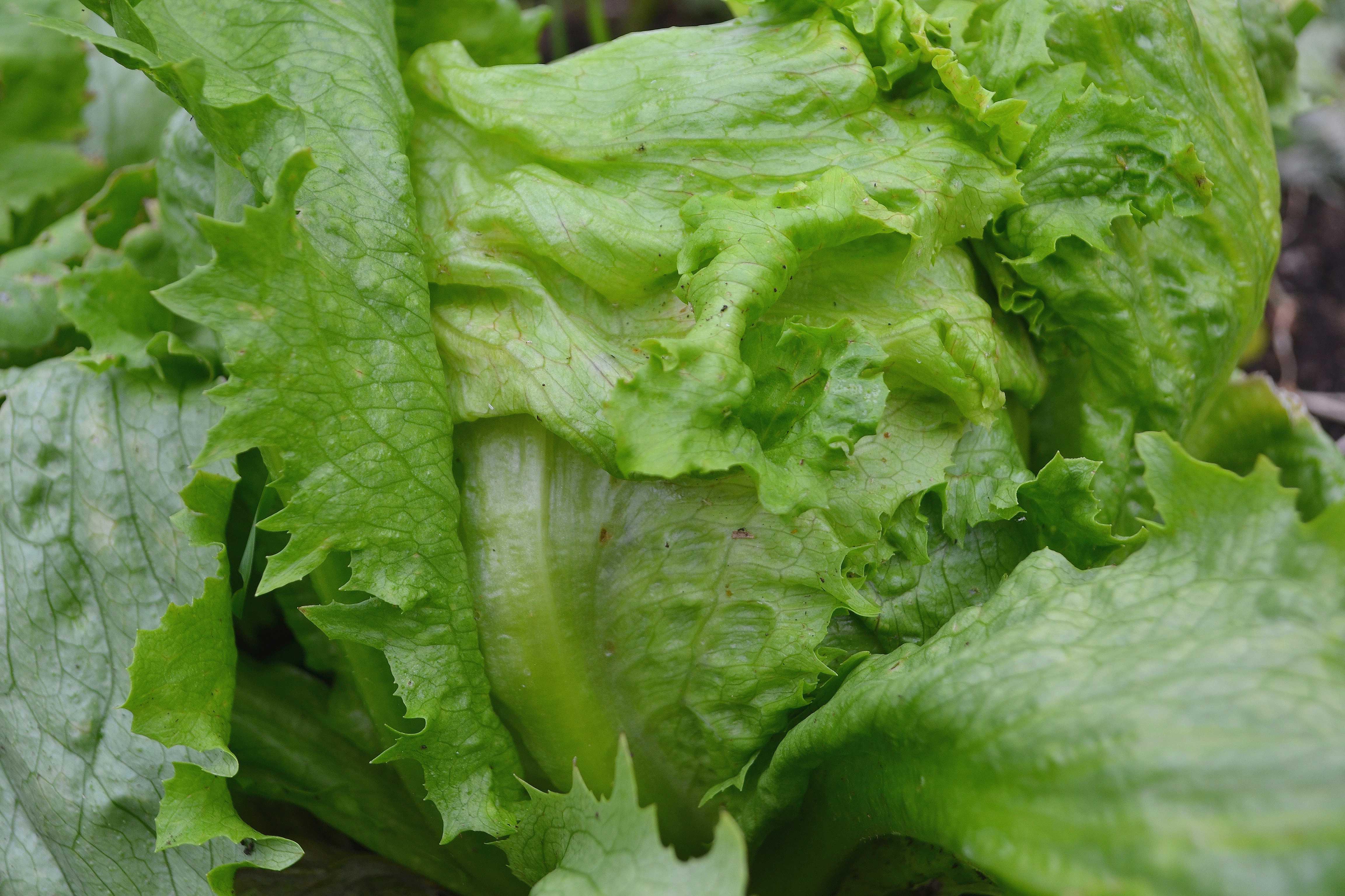 Ett vackert huvud av isbergssallat med flikiga blad
