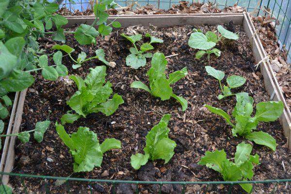 Sex små plantor av sallat växer i ett kompostgaller.