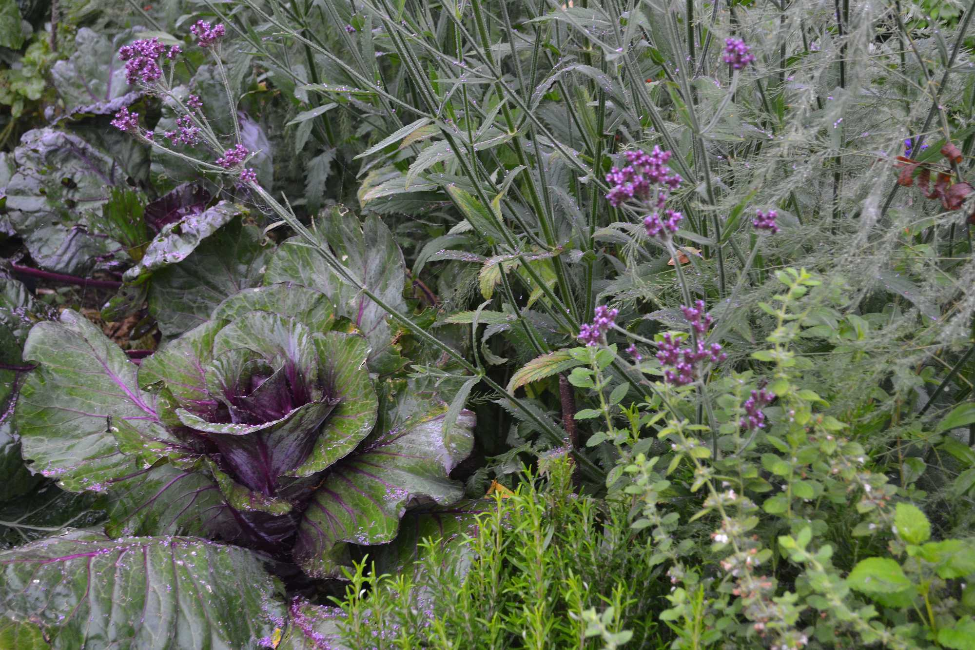 En samplantering av kål, kryddor och sommarblommor.