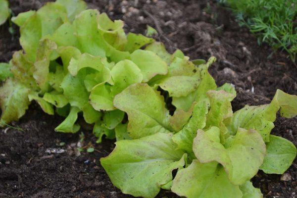 En rad med ljust gröna blad på rad.