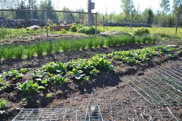 Köksträdgården i vårljus med grönskande spenat och gräslök.
