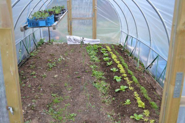 Tunnelväxthuset sett från ingången, med sallatsbädden till höger och potatisbäddarna i mitten och till vänster.