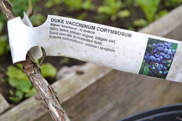 En plantetikett på blåbärsbusken.