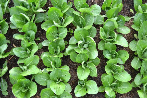 Pallkragen sedd ovanifrån med fullvuxna plantor.
