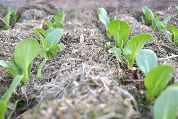 Närbild på små plantor av pak choi.