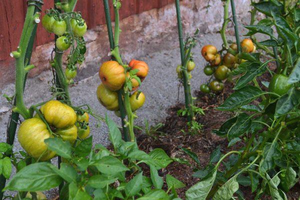En tomatplantering längs en husvägg.