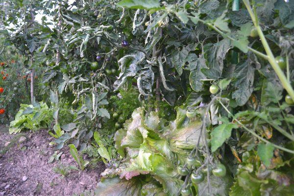 Höga tomatplantor och under dem växer huvudsallat.