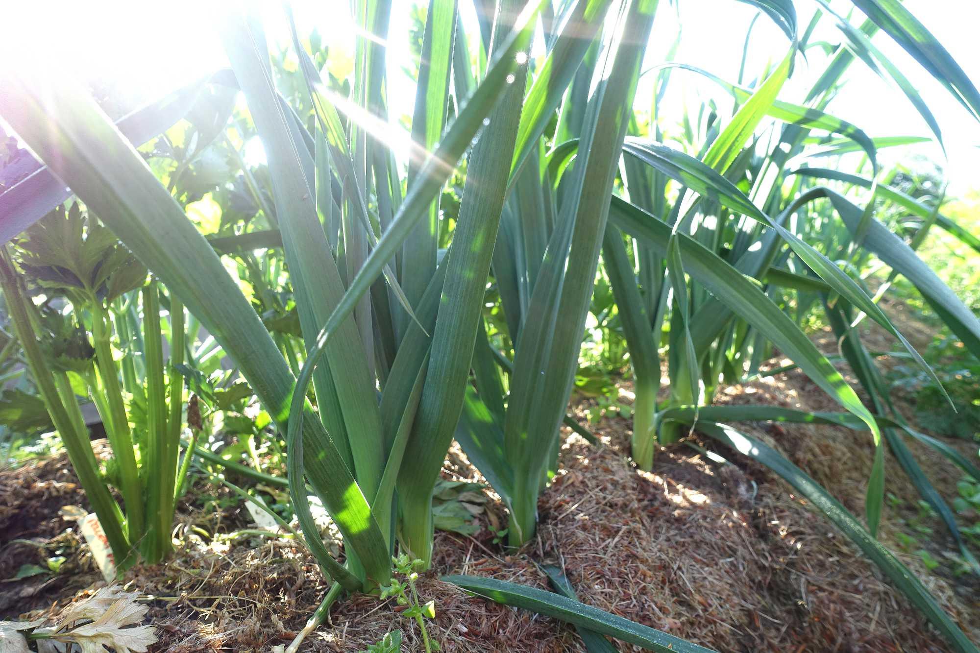 Purjolök på friland täckt med gräsklipp