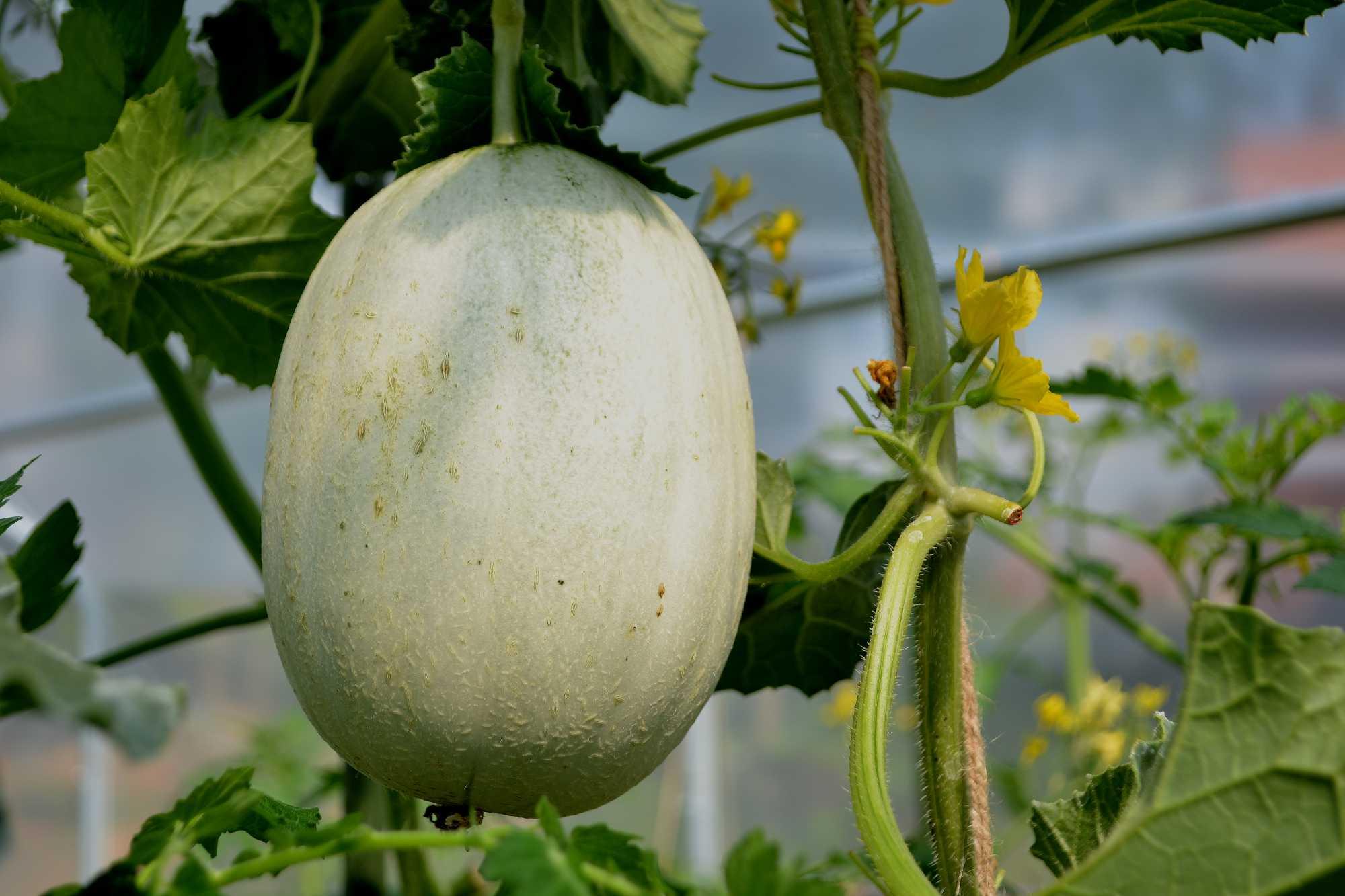 En melon hänger på en planta.