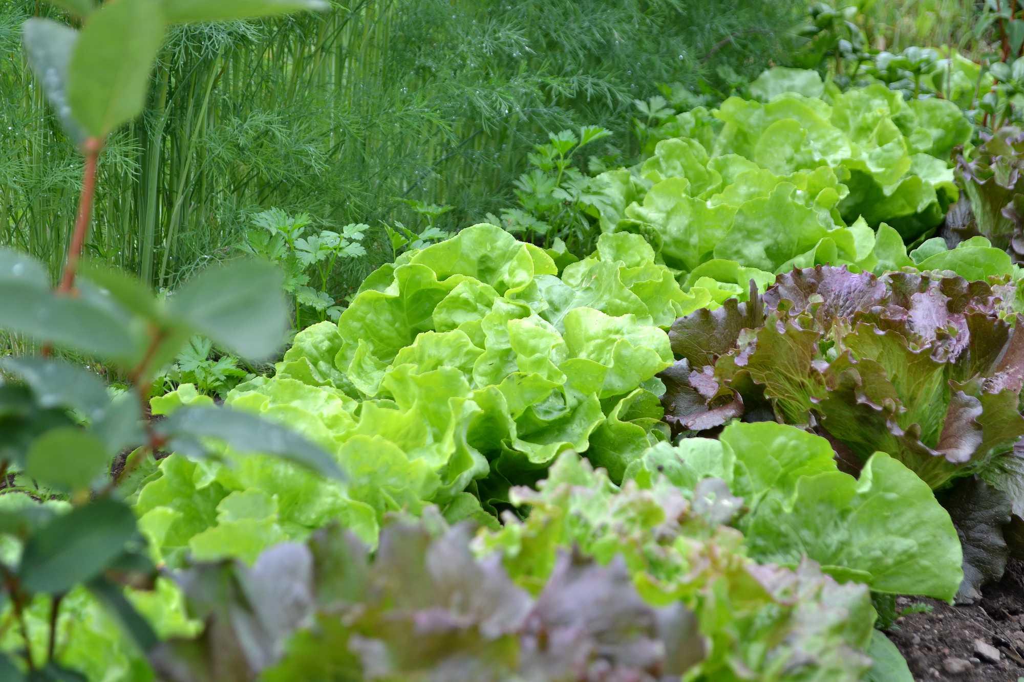 Samplantering med frodiga gröna plantor.