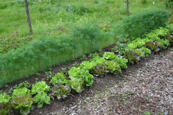 Bild på bädden med grönsaker i långa rader.