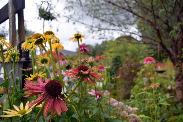 Sensommarblommor i trädgården. Så vackra färger att omge sig med! Foto: Elisabeth Anderberg.
