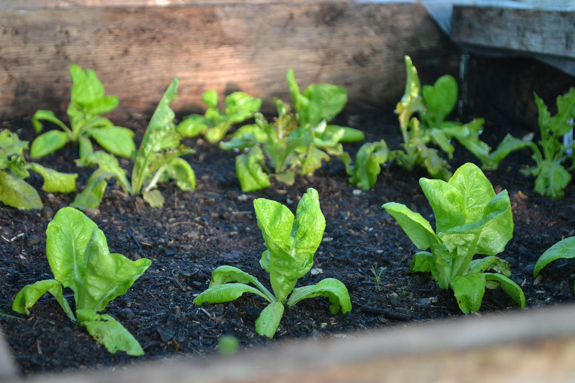 En varmbänk med sallatsplantor.