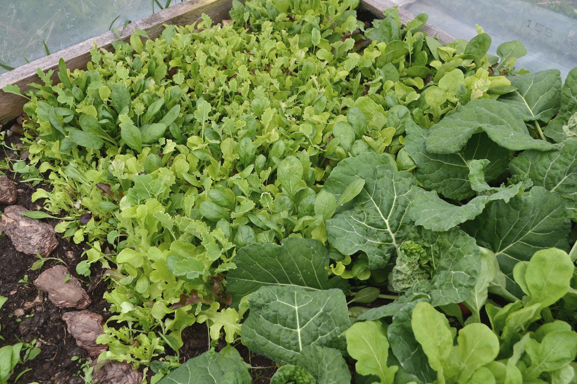 Bladgrönsaker i tunnelväxthuset.